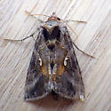 Common Looper Moth (Autographa precationis) - Autographa precationis
