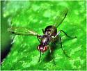 Black Scavenger Fly - Sepsis