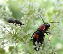 soldier beetle eating soldier fly - Discodon