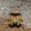 Moth - Cobubatha lixiva