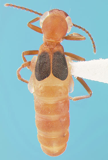 Melyrid - Endeodes basalis - male