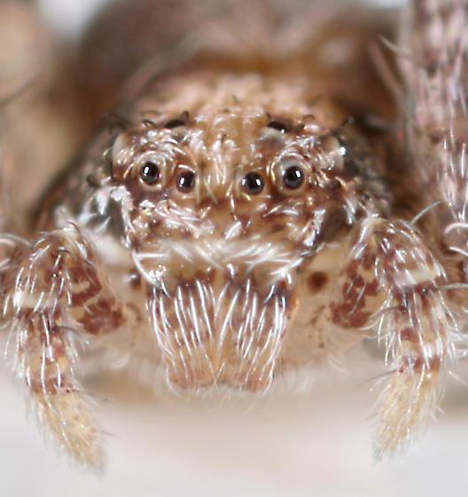 Spider BG614 - Philodromus
