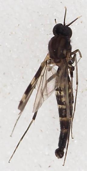 Keroplatidae Heteropterna perhaps - Heteropterna cressoni