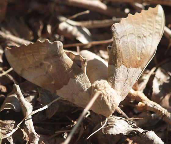Large leaf patterned moth - Pachysphinx modesta