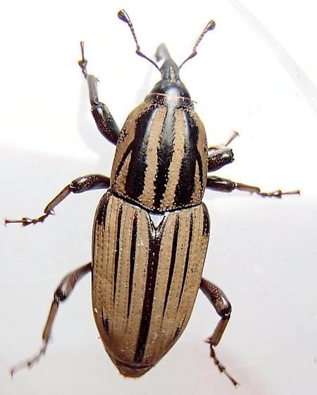 Billbug - Sphenophorus villosiventris