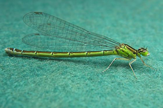 Narrow-winged Damselfly - Coenagrion resolutum - female