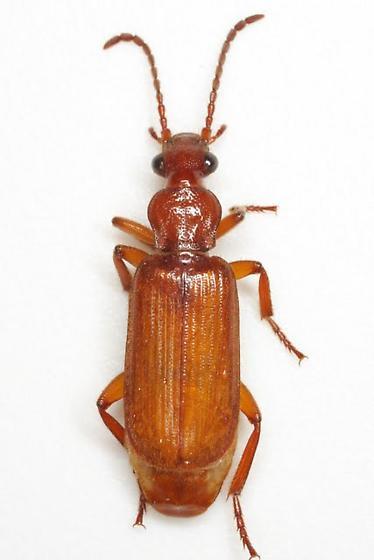 Helluomorphoides ferrugineus (LeConte) - Helluomorphoides ferrugineus
