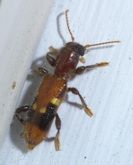 Orange, black, and yellow checkered beetle - Priocera castanea