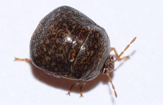 tiny hemipteran - Megacopta cribraria
