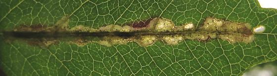 mine along midvein of Campsis leaflet - Octotoma plicatula