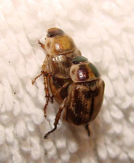 Oriental Beetle - Exomala orientalis - male - female