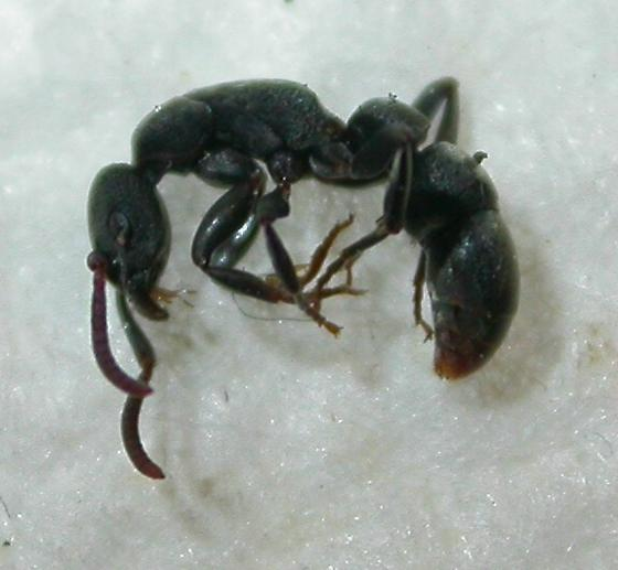 Platythyrea punctata - female