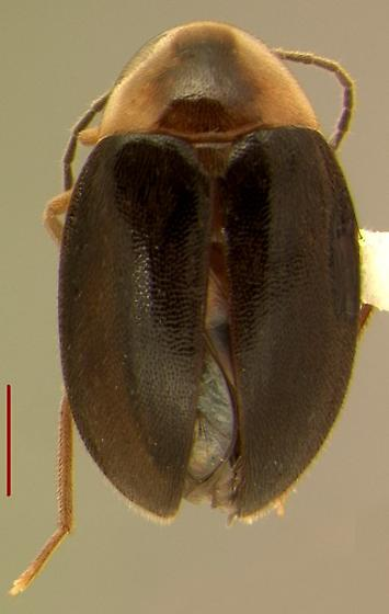 Sacodes fuscipennis (Guérin) - Sacodes fuscipennis