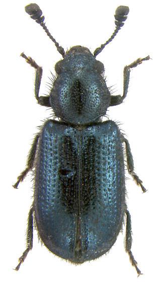 Necrobia violacea (Linnaeus, 1758) - Necrobia violacea