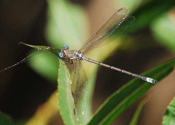 California Spreadwing - Archilestes californica - male