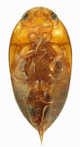 hooked protibia - Hydrocanthus