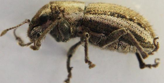 Naupactus peregrinus - female