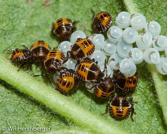 Recently hatched eggs with first instar nymphs - Halyomorpha halys - Halyomorpha halys