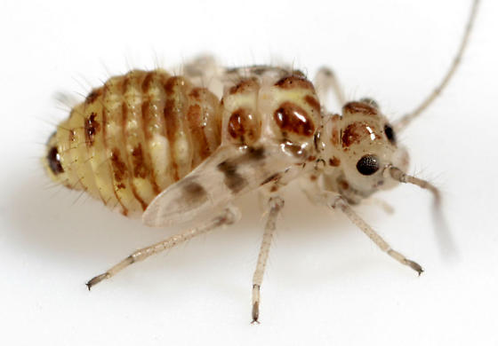 Barklouse nymph (or female?) - Teliapsocus conterminus