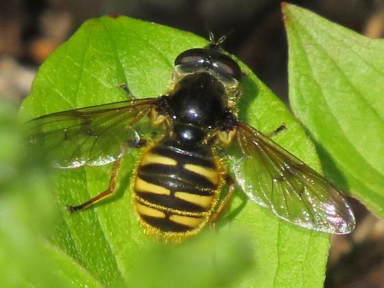 Sericomyia bifasciata - female