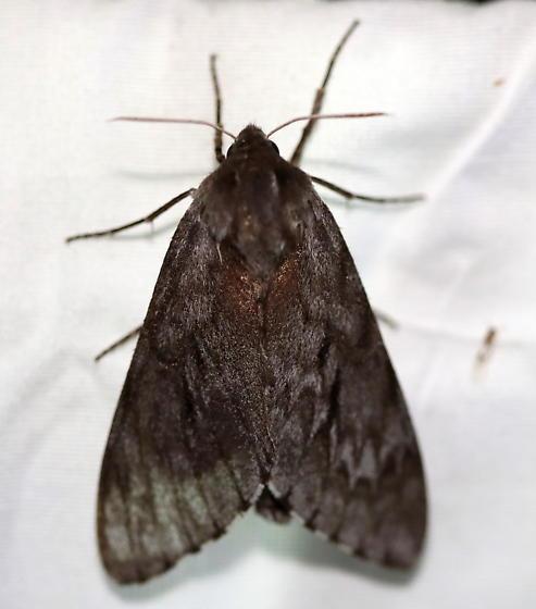 Southern Pine Sphinx - Lapara coniferarum