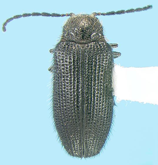 Artematopodid - Eurypogon niger