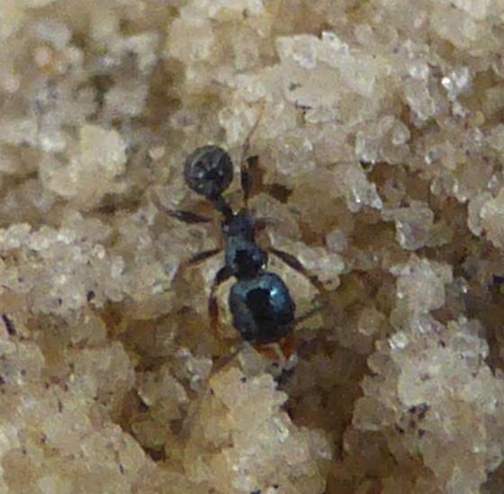 Tiny Black Ant - Pheidole metallescens