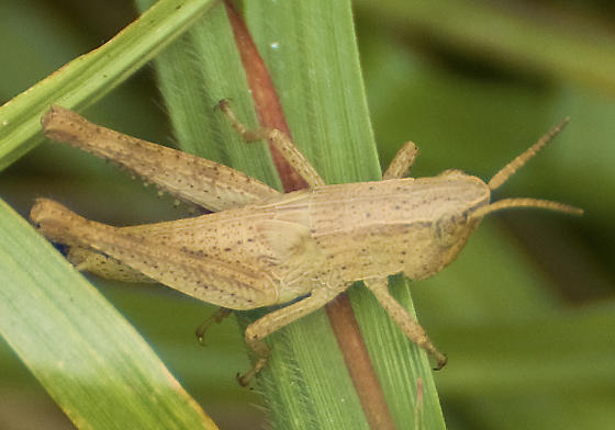 Family Acrididae - Dichromorpha viridis - female