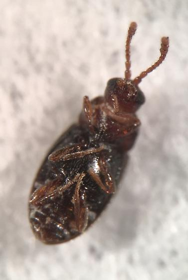 Not sure if this is just atomaria with the head popped out - Atomaria