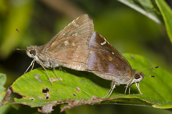 Clouded Skippers mating - Lerema accius - male - female