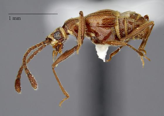 Staphylinidae: Ctenisodes sp.? - Ctenisodes