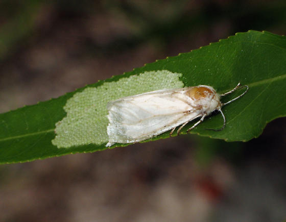 Moth ovipositing on Willow