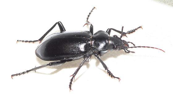 Black Ground Beetle - Calosoma peregrinator - male