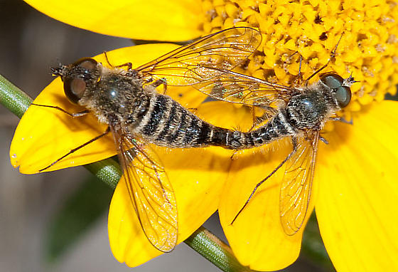 Aphoebantus - male - female