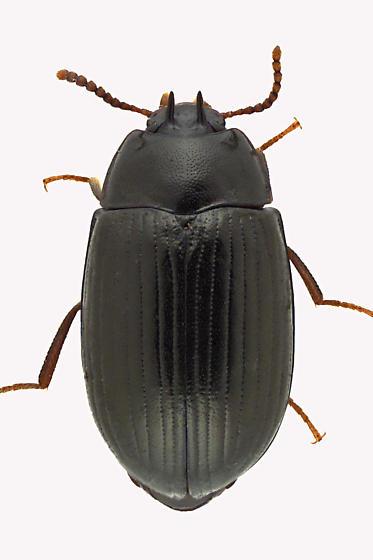 Darkling Beetle - Platydema excavatum