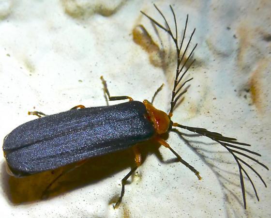 Pterotus - Pterotus obscuripennis