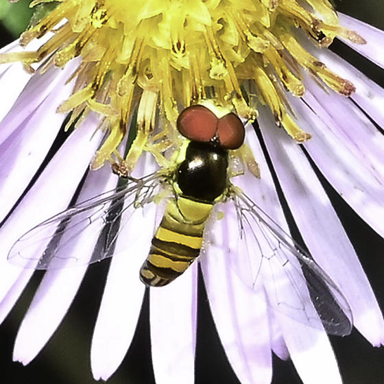 Toxomerus - Allograpta obliqua