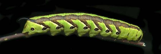 Sphingidae larva, AZ - Agrius cingulata