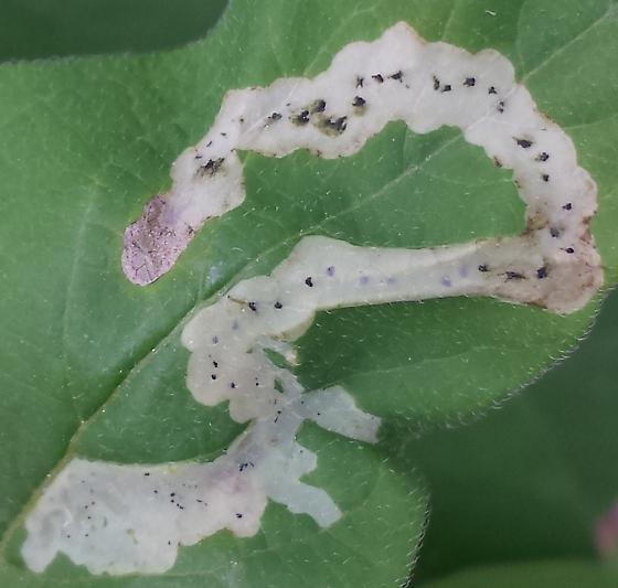 Aulagromyza (?) on honeysuckle - Aulagromyza cornigera
