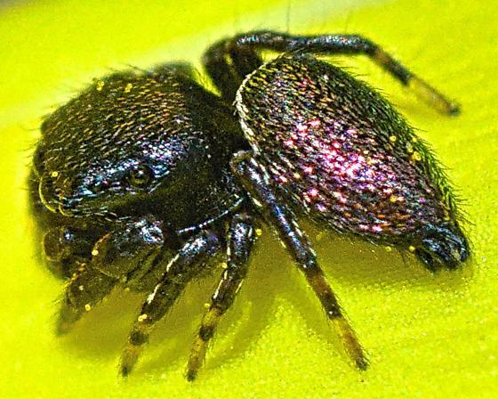 Spider 3mm - Sassacus papenhoei