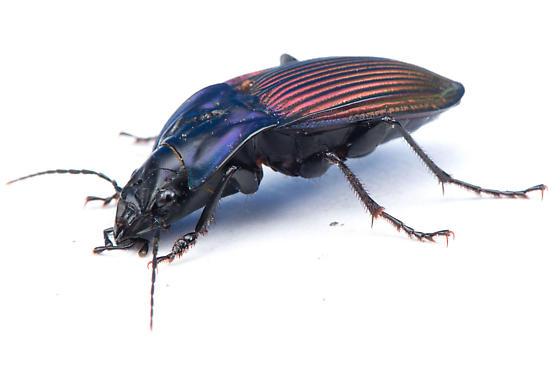 Dicaelus purpuratus