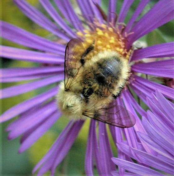 Bumble Bee: Bombus fervidus (Golden Northern)? B. perplexus (Confusing)? B. borealis (Northern Amber)? - Bombus perplexus