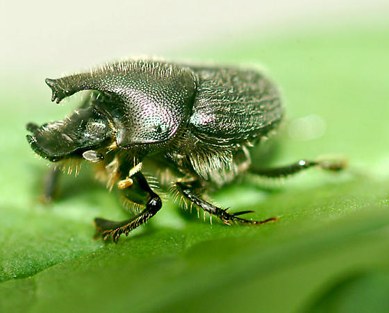 Awesome beetle! - Onthophagus hecate