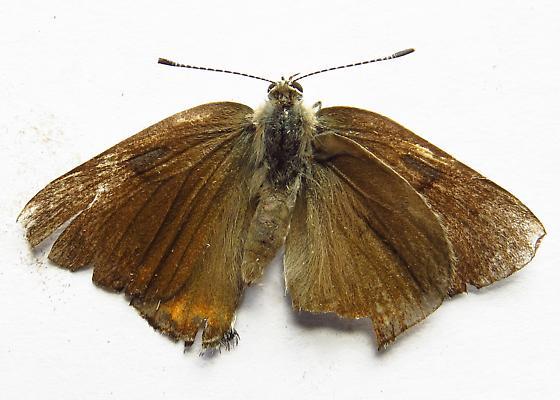 Brown Butterfly - Satyrium