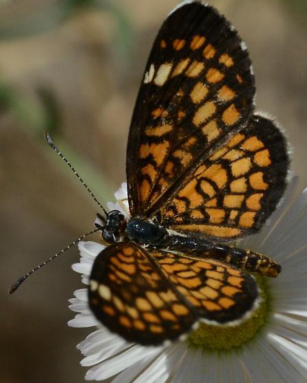 Dark edged Butterfly - Microtia dymas