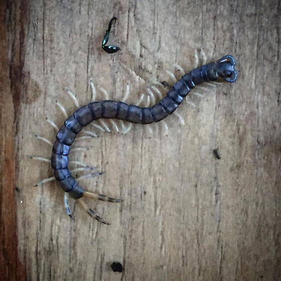 Centipede in Middle Tennessee - Hemiscolopendra marginata