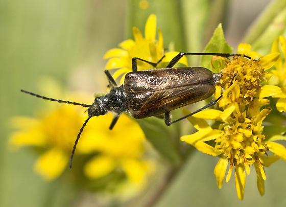 Long-horned flower beetle - Gnathacmaeops pratensis