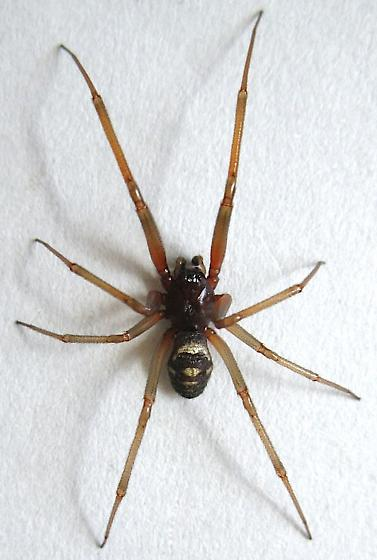Hairdressers finger is AMPUTATED after false widow spider