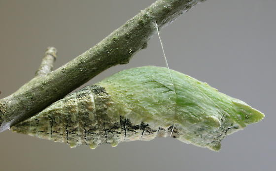 Black Swallowtail--Chrysalis - Papilio polyxenes