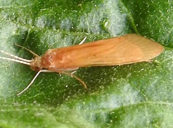 Orange Trichoptera
